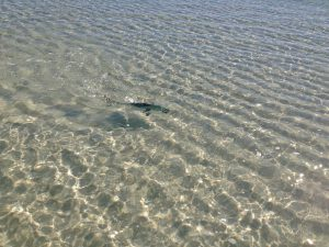 The Gulf dead flat and the fish cruising in inches of water