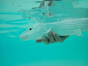 Bonefish being released