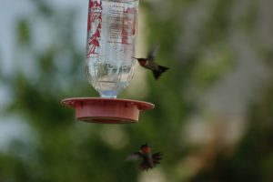 Ruby Throated males in aerial battle