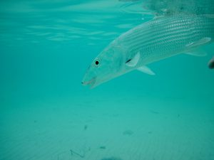 A released Bonefish