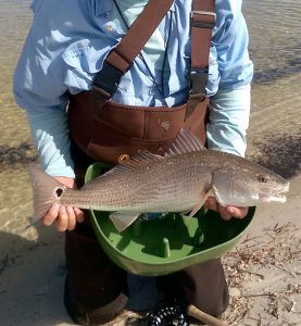 Redfish prior to release