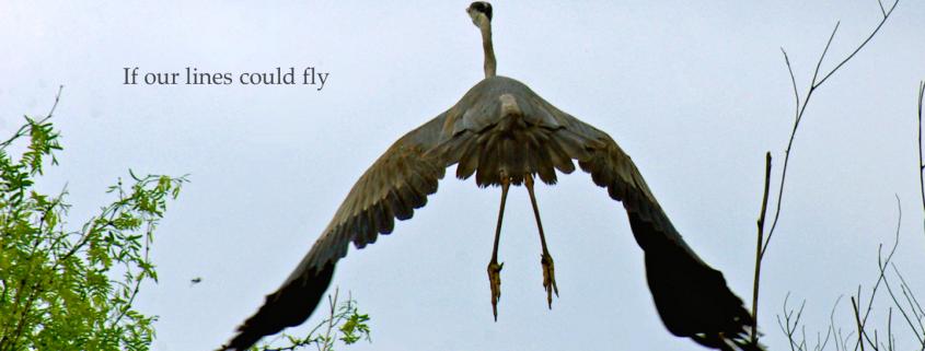 Blue Heron - Padre Island