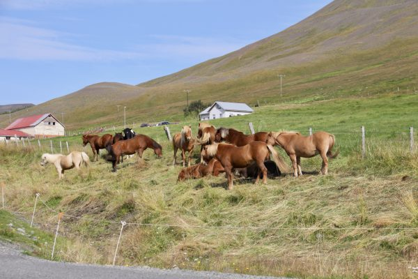 Icelandic horses (not ponies)