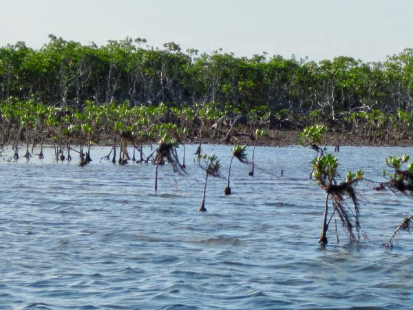 Low tide mangroves