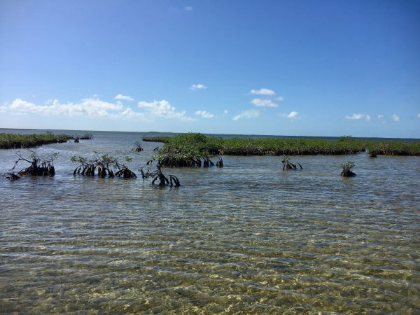 The mangrove system (red mangrove)