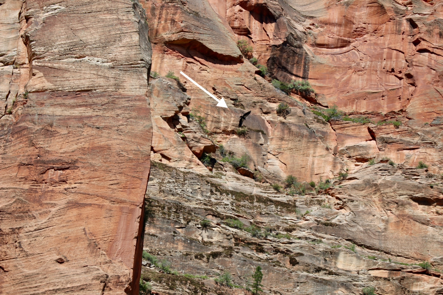 Condor in Zion National Park