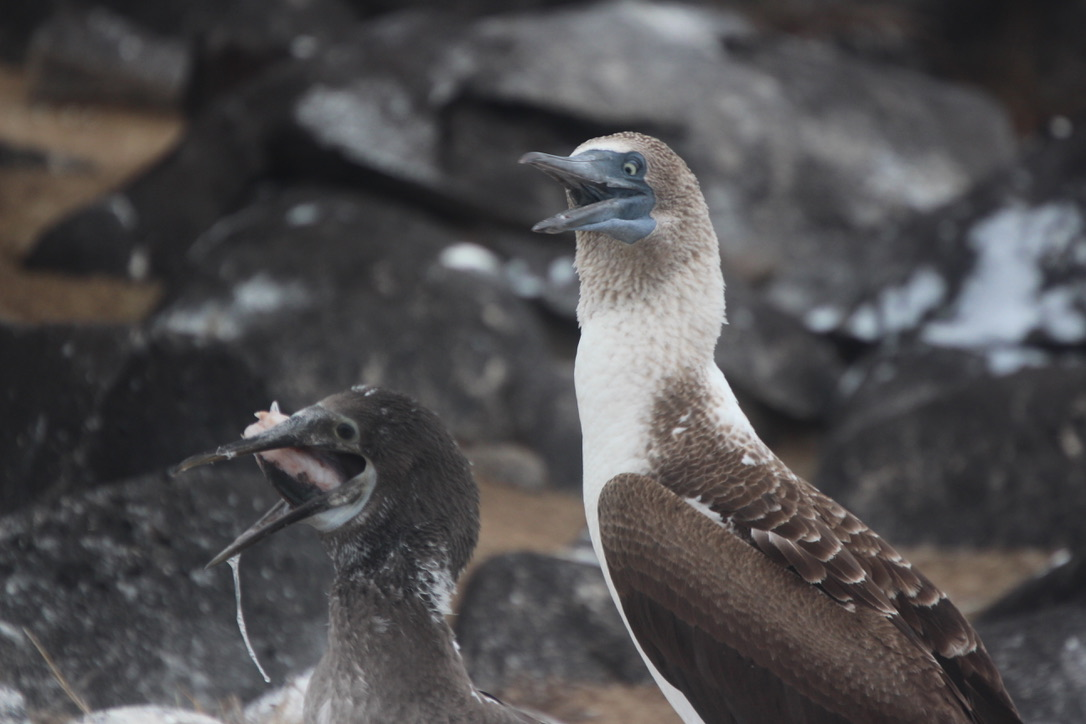 Blue footed booby - chick got its fish