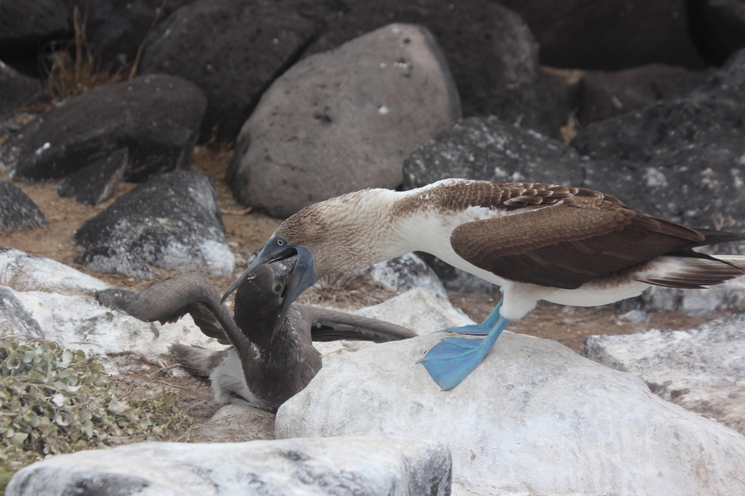 Blue footed booby - where is breakfast?