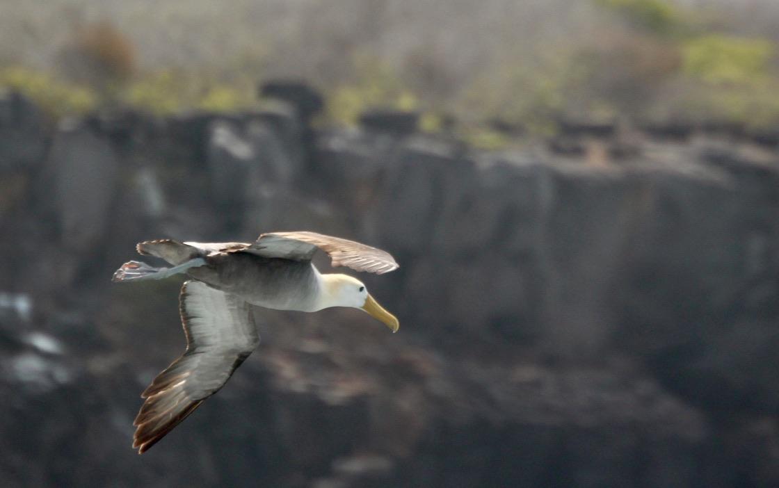 Albatross airborne