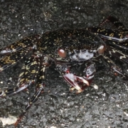 Black rock crab (will turn red when bigger)