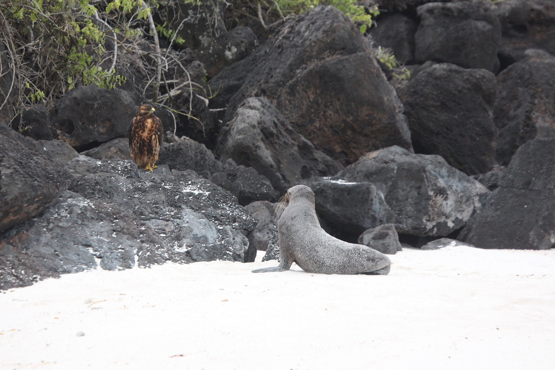 Galapagos hawk and sea lion standoff