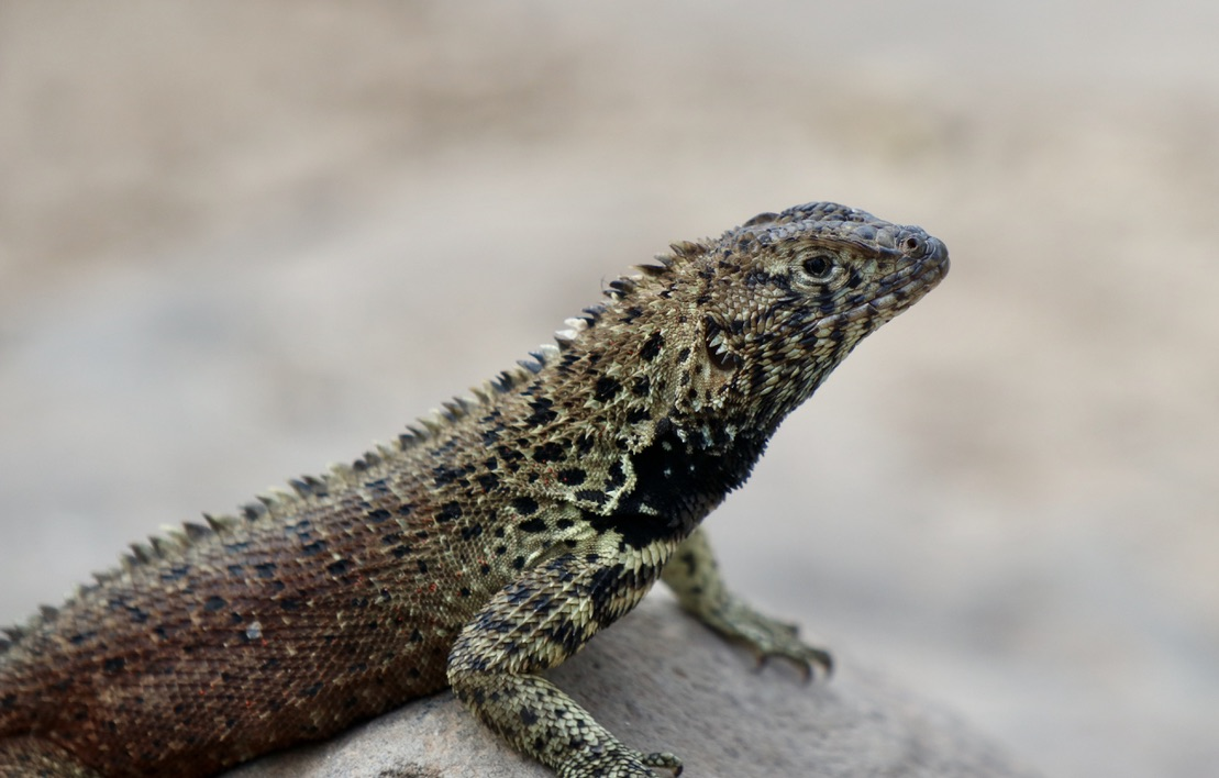 Espanola lava lizard (male)