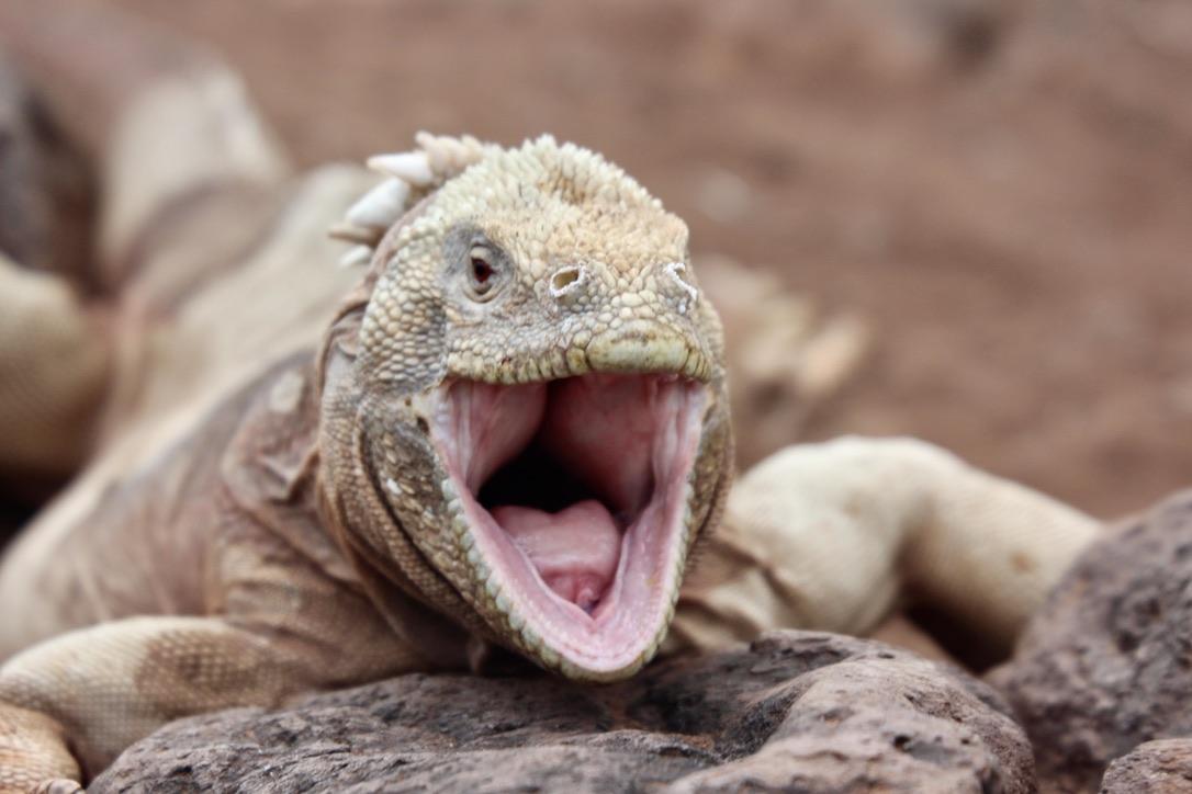 Land Iguana smile