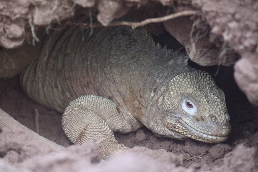 Land Iguana in its lair
