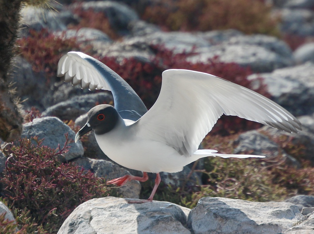Swallowed Tailed Gull