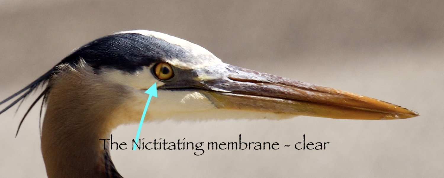 The transparent nictitating membrane